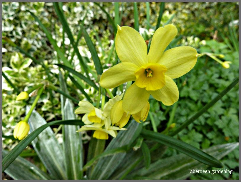Daffodil Pipit