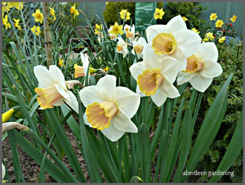 Daffodil Salome