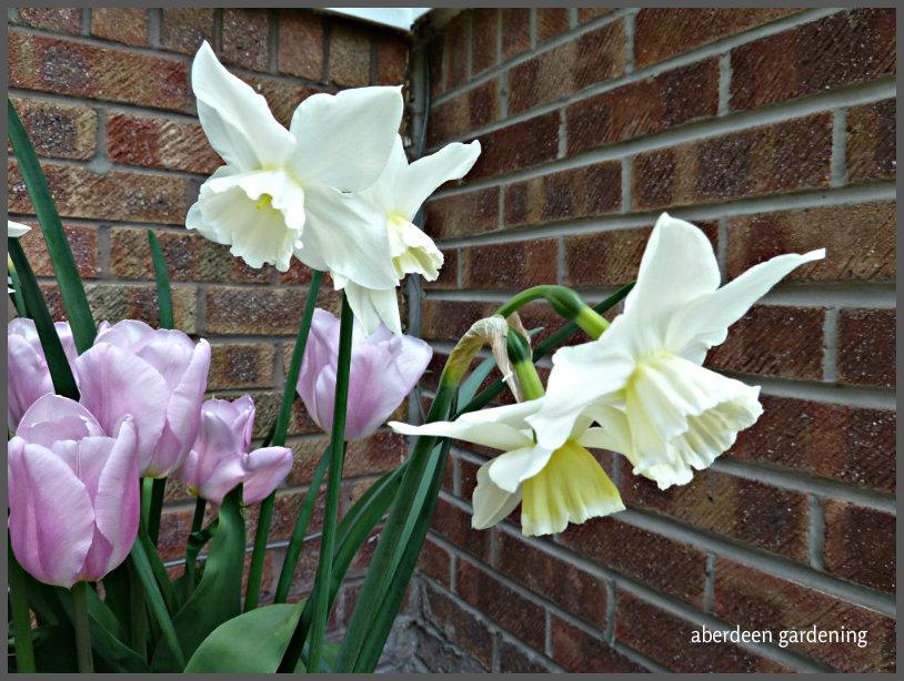 Narcissus 'Tresamble