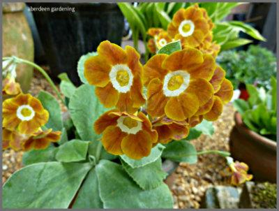 Auricula Curry blend (3)