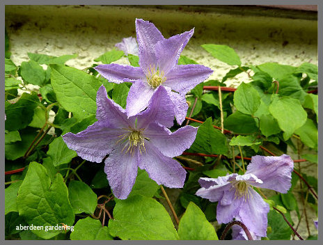 Clematis Blue Angel (01)
