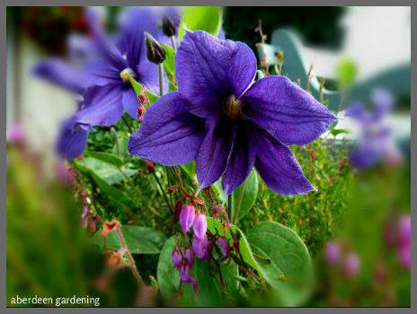 Clematis Durandii (July) (4)