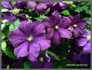 Clematis Viticella Etoile Violette (4)