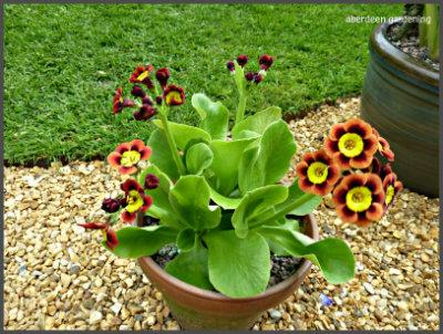 Garden Auriculas (10)
