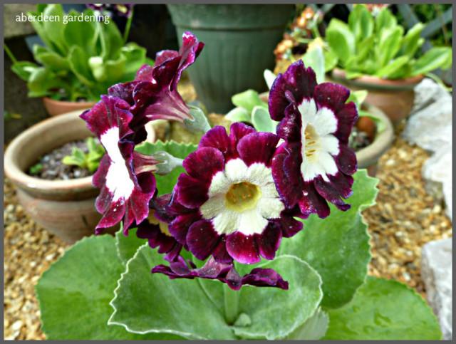 Garden Auriculas (11)
