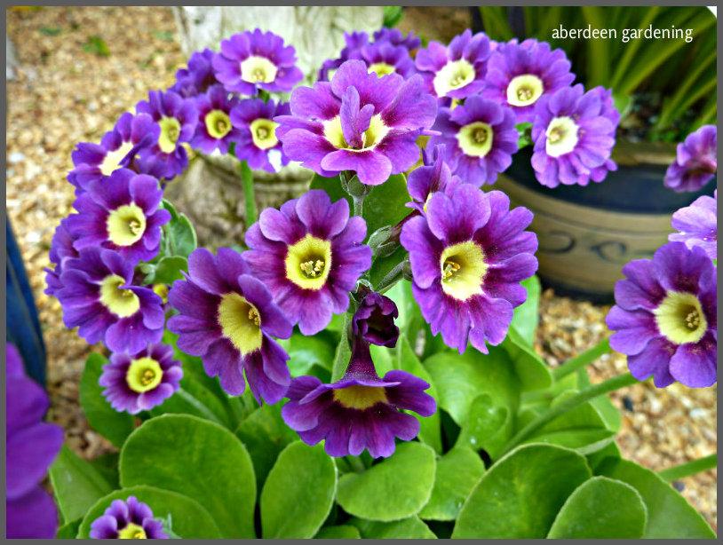 Garden Auriculas (16)