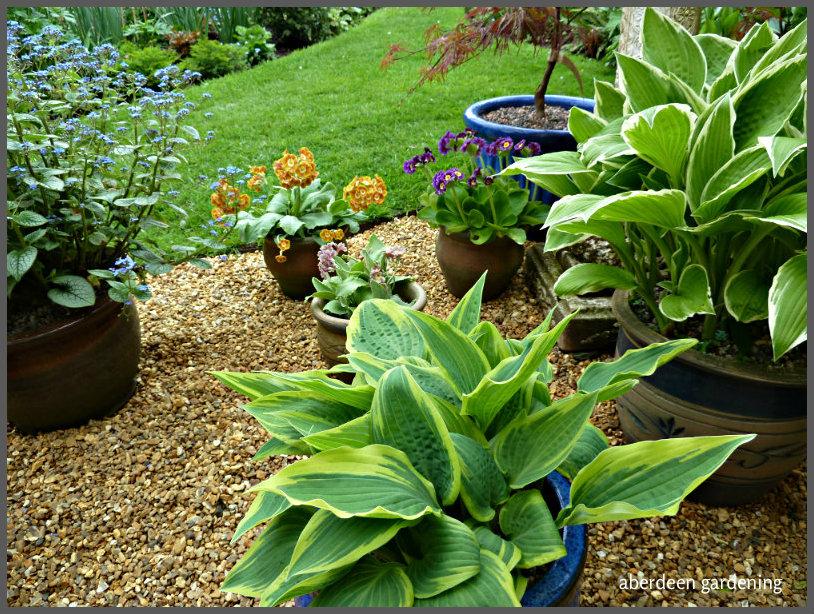 Garden Auriculas (2)