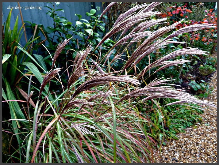 Miscanthus red chief (2)