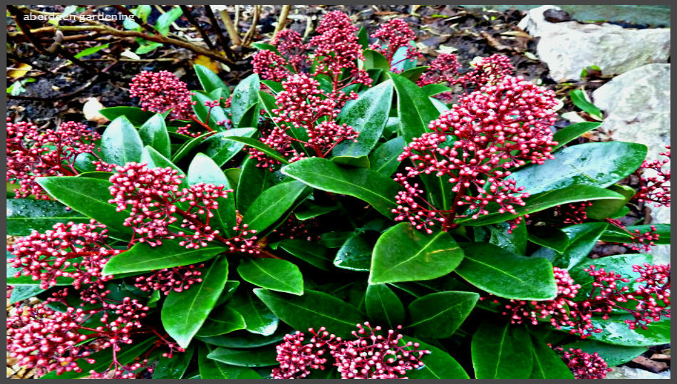 male plant skimmia japonica rubella aberdeen gardening. Black Bedroom Furniture Sets. Home Design Ideas
