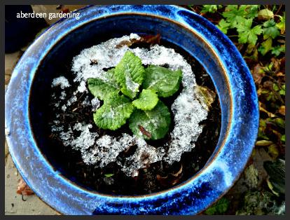 frosty pot