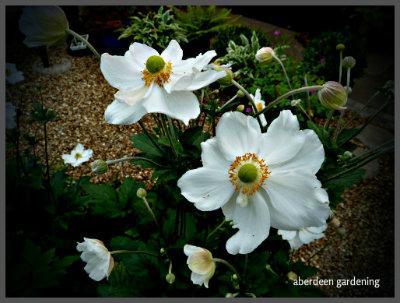 Japanese Anemone Honorine Jobert (1)