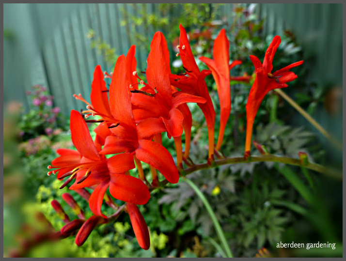 Crocosmia Lucifer (10)