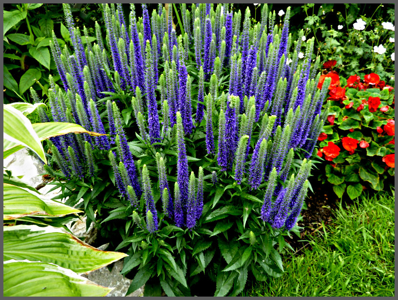 Veronica spicata ulster blue (5)