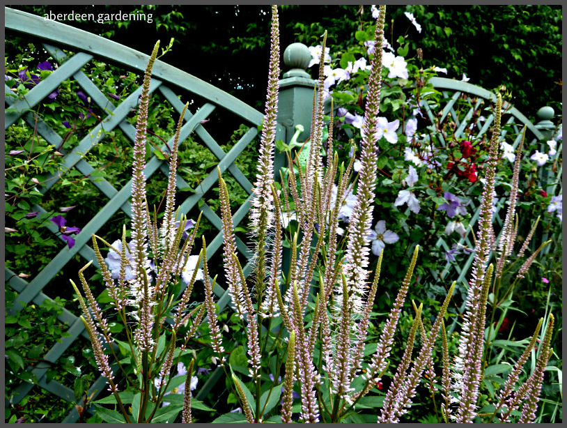 Veronicastrum virginicum 'Album' (11)