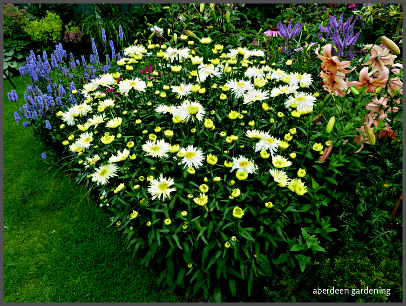 leucanthemum goldrush (19)