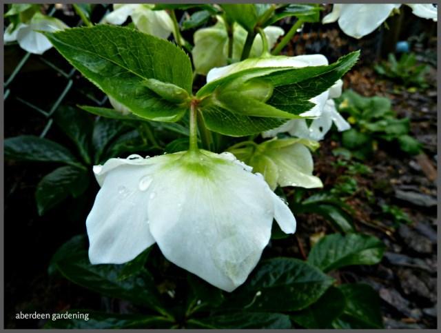 Hellebore seedling