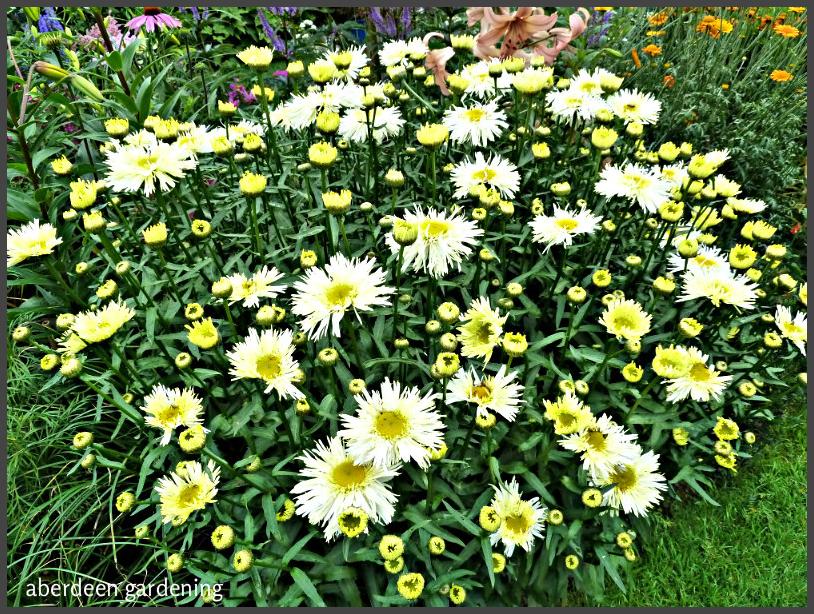 leucanthemum goldrush