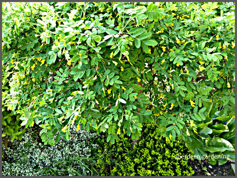 Caragana arborescens (5)