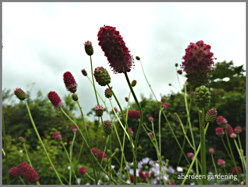 Sanguisorba officinalis 'Arnhem' (6)