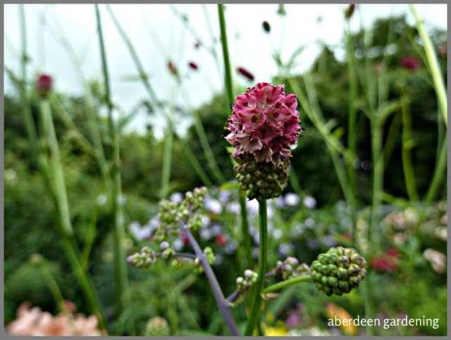 Sanguisorba officinalis 'Arnhem' (9)