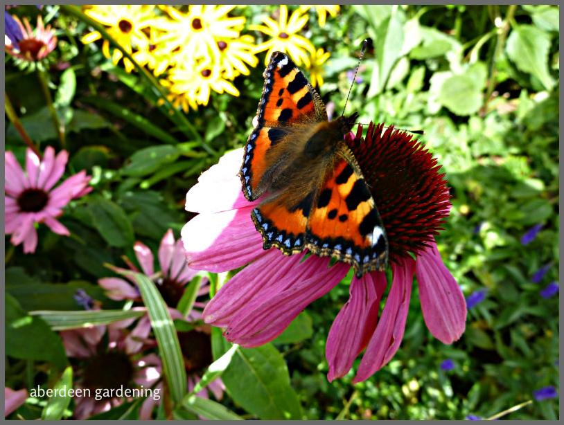 echinacea-purpureamagnus-12