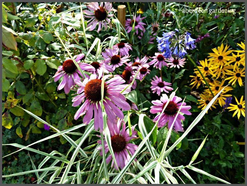 echinacea-purpurea magnus-23