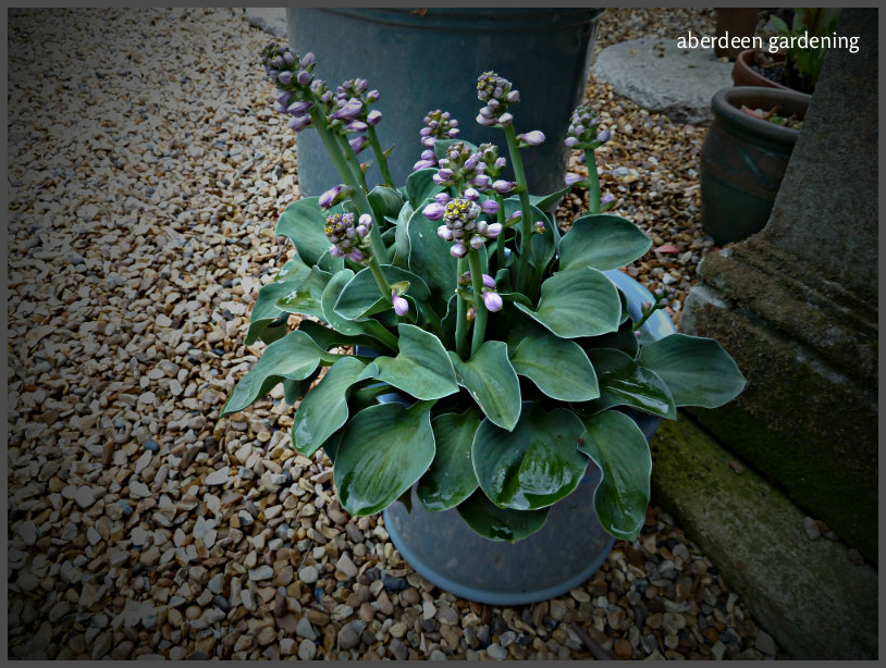 hosta-blue-mouse-ears-1