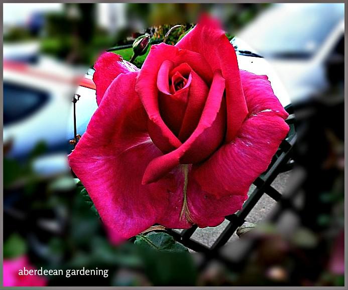 Buxom Beauty HT Rose