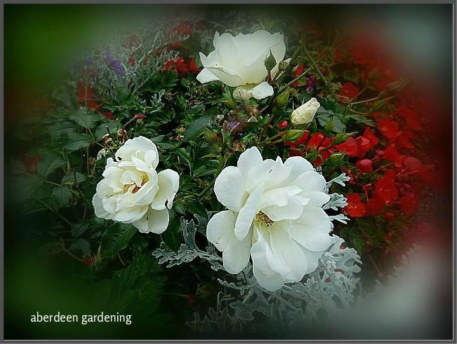 Flower carpet rose white