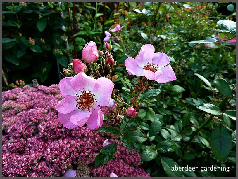 Rose Sweet Haze growing in our Leggart garden