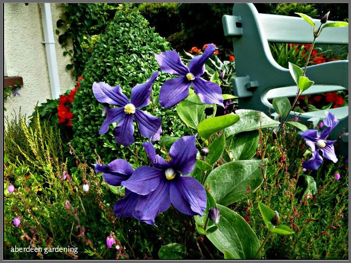Growing Clematis Durandii in Aberdeen