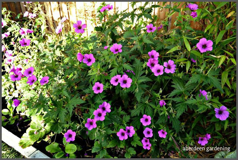 Geranium Patricia profile