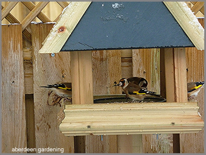 Goldfinches in our Fife garden