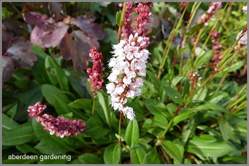 Persicaria affinis darjeeling red