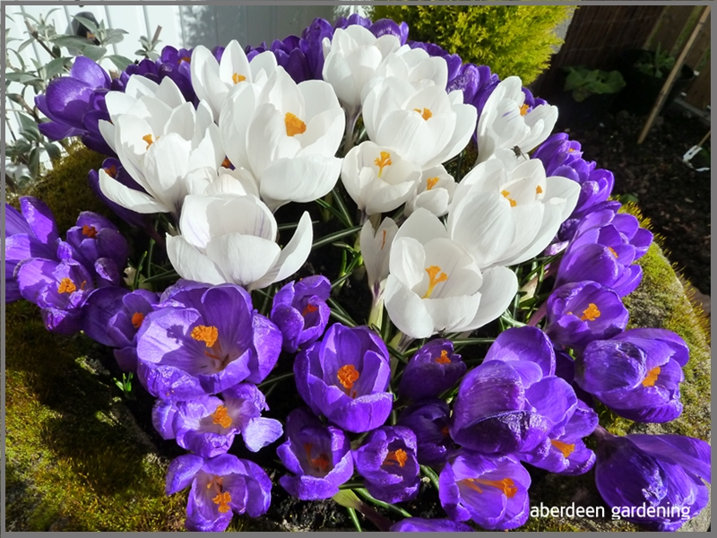 Crocus Vernus white and purple
