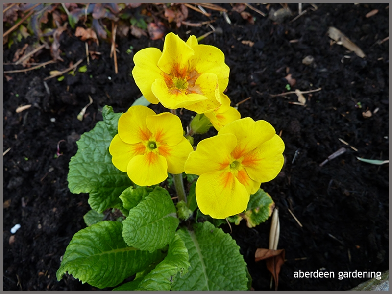 Polyanthus High seas