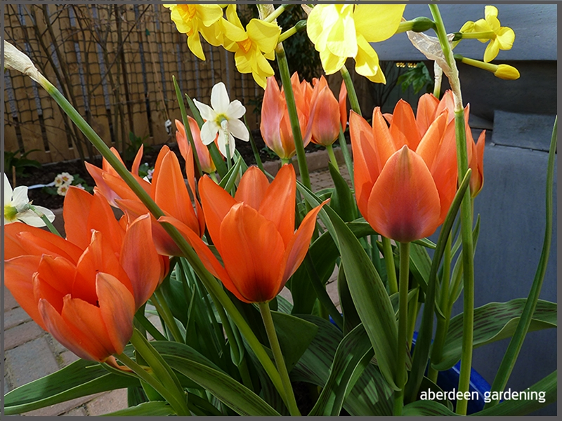Tulip multi-head orange Toronto