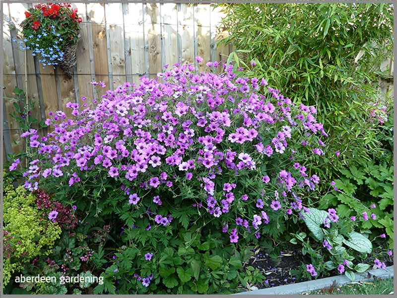Hardy Geranium Patricia