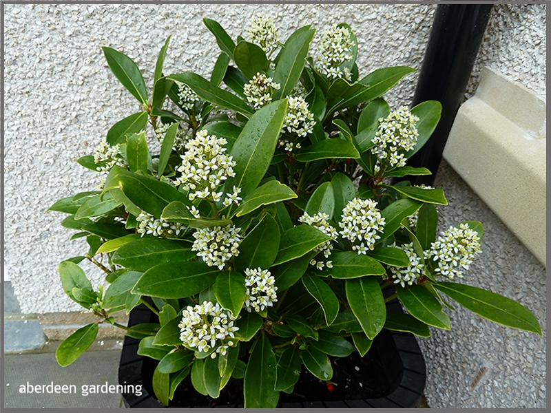 SkimmiaJaponica Temptation in full bloom, creamy white flower clusters in April