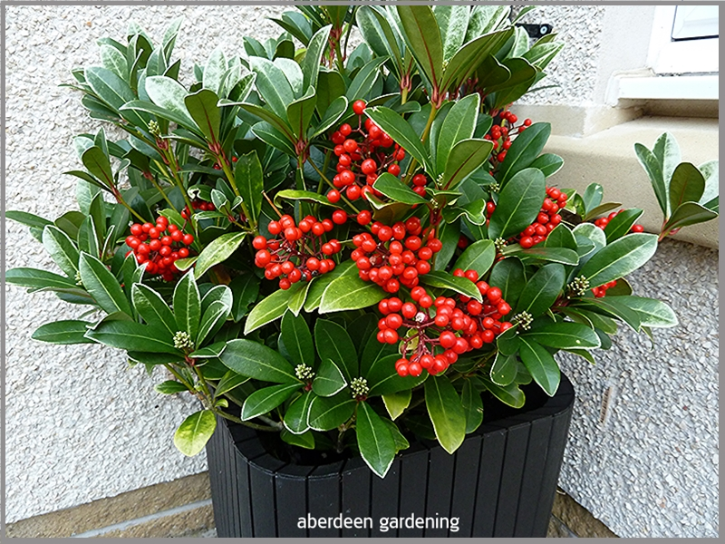 Skimmia Temptation with large clusters of red berries on the 21st October