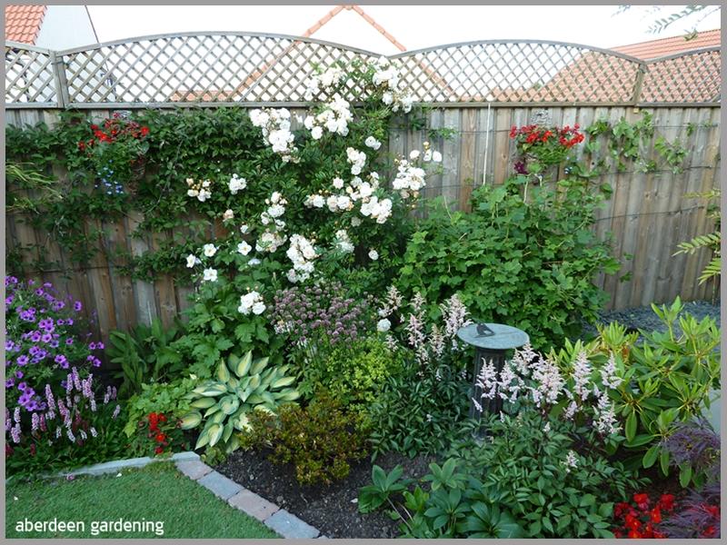 Rambling Rose Ghislaine de Feligonde smothered in blooms