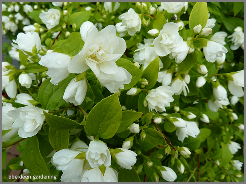 Philadelphus little white love with its pure white scented flowers.