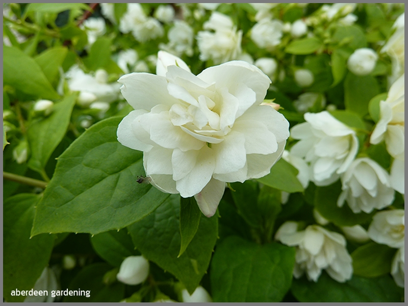 A close up shot of the white double flower of Philadelphus little white love.