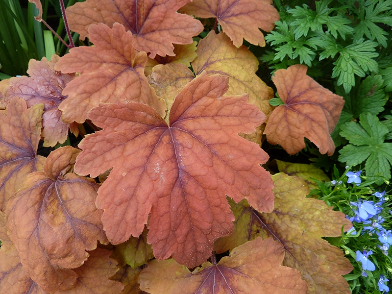 Heucherella Sweet Tea showing the vivid shades of orange which is more pronounced in mid Summer