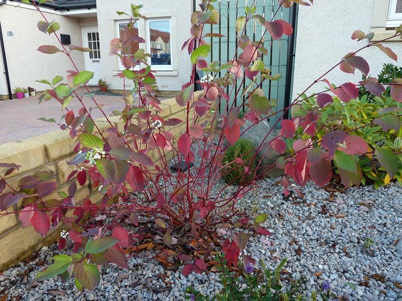 Showing the autumn leaf colour of Cornus alba Sibirica
