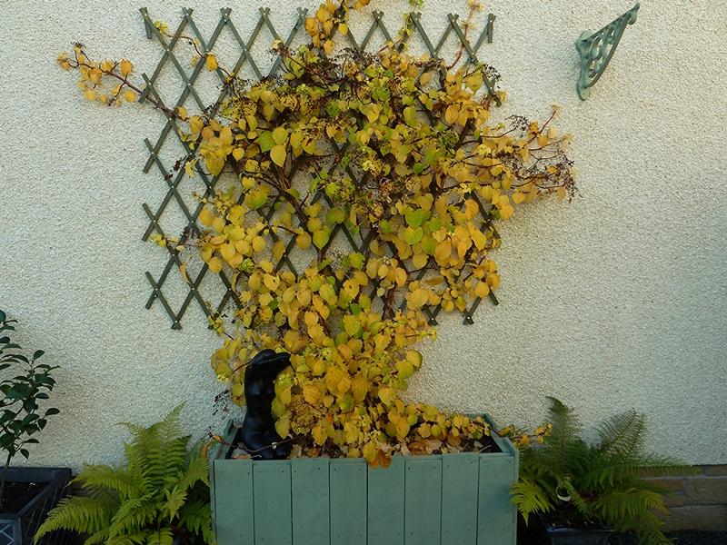 Hydrangea Petiolaris  showing its Autumn shades.