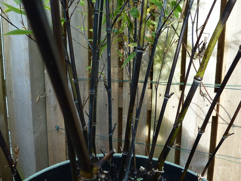 Close up shots showing the black stems of  Phyllostachys Nigra