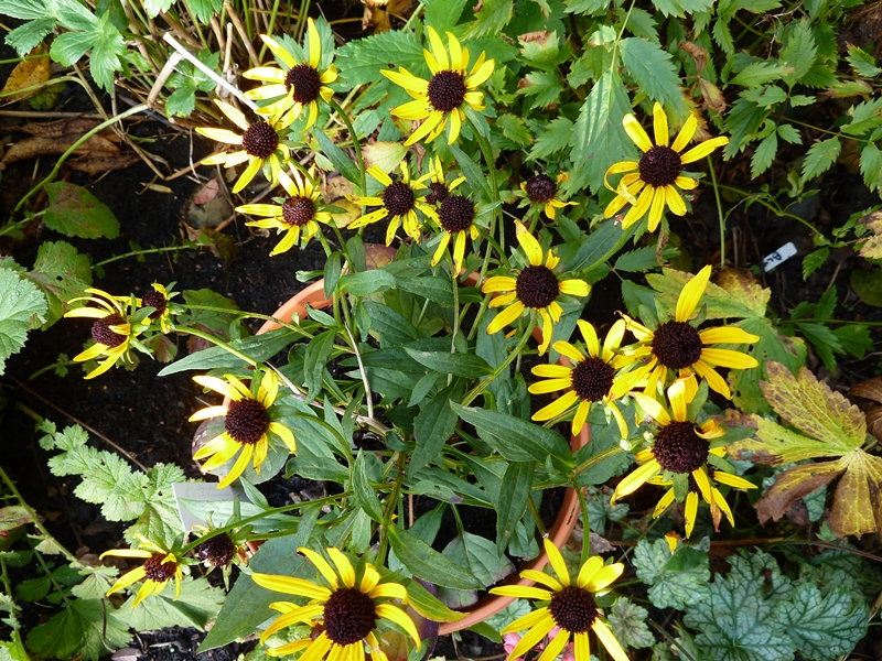 Rudbeckia little goldstar it may be little but end of October and its still looking good.