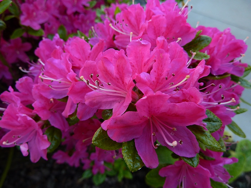 A close up shot of Azalea Kermesena