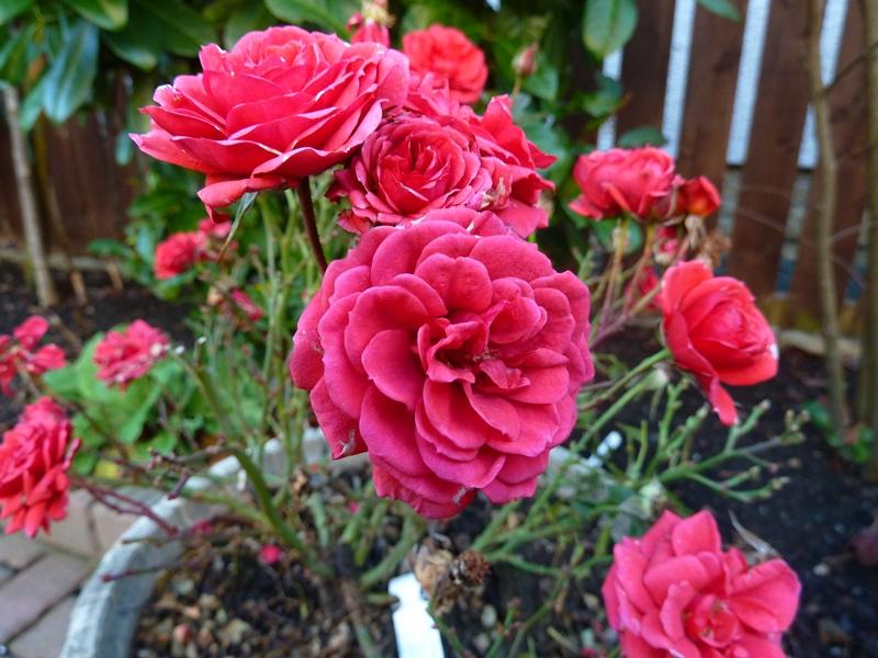 Patio rose birthday wishes